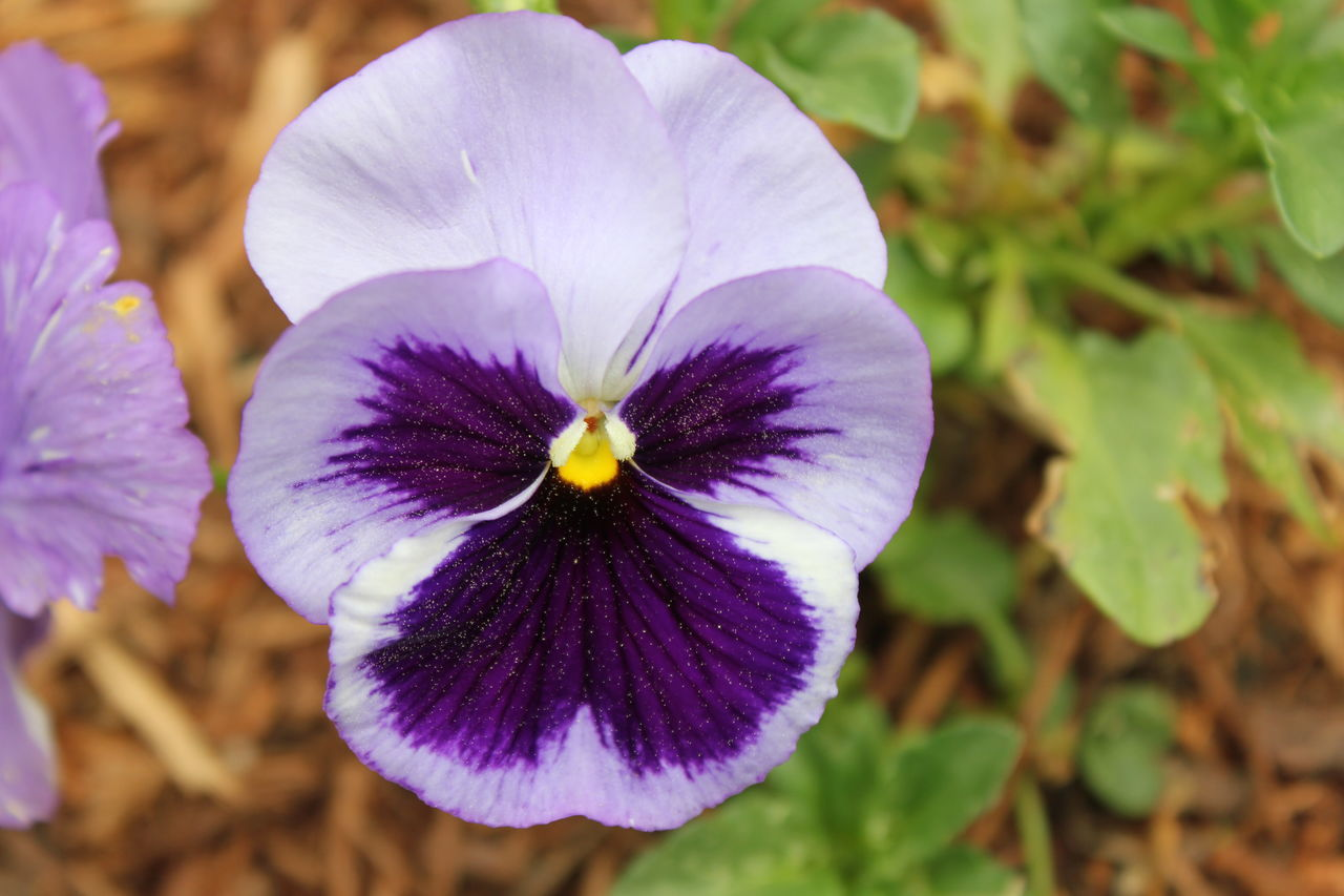 flower, petal, beauty in nature, fragility, flower head, growth, purple, freshness, nature, plant, focus on foreground, day, no people, close-up, blooming, outdoors, pansy, petunia