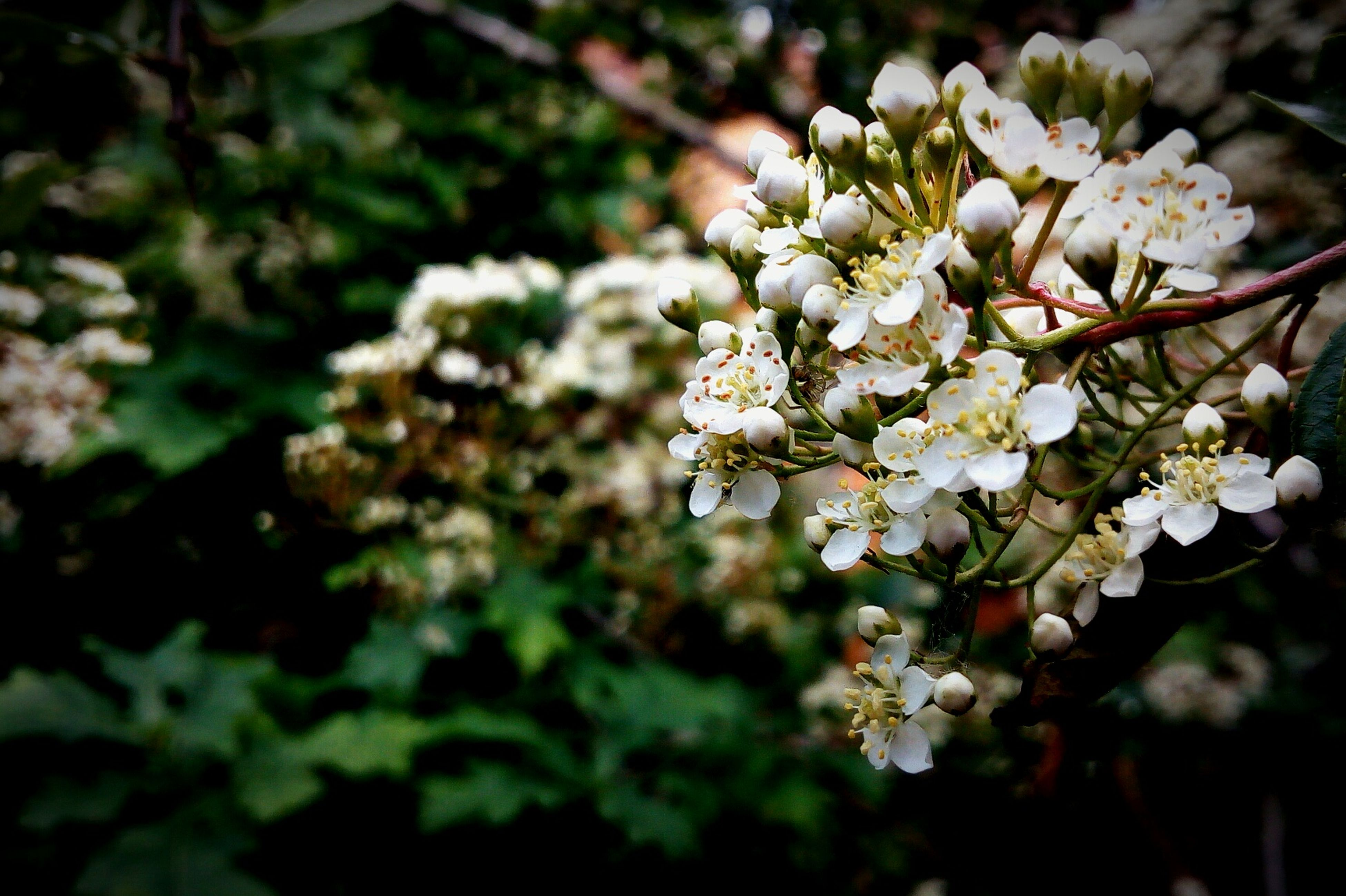flower, fragility, white color, beauty in nature, nature, freshness, blossom, petal, growth, botany, apple blossom, springtime, apple tree, no people, flower head, close-up, branch, day, focus on foreground, twig, outdoors, stamen, tree, blooming, plant