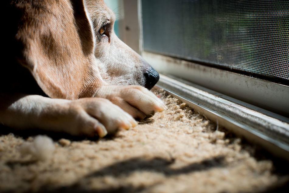 Beagle Beagle Love Dog Dreams Dog Lifestyle Dog Photographer Dog Photography Dog Portrait Dog Portraits Dog Portraiture My Heart No People Pet Lifestyle Pet Photographer Pet Photography  Pet Portraits My Love Heart Dog Waiting Waiting For Daddy Waiting For Mommy