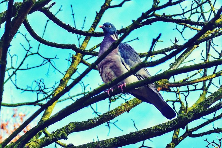 Pigeon Low Angle View Tree Nature Branch Day Outdoors No People Sky Animal Themes Beauty In Nature Growth Close-up