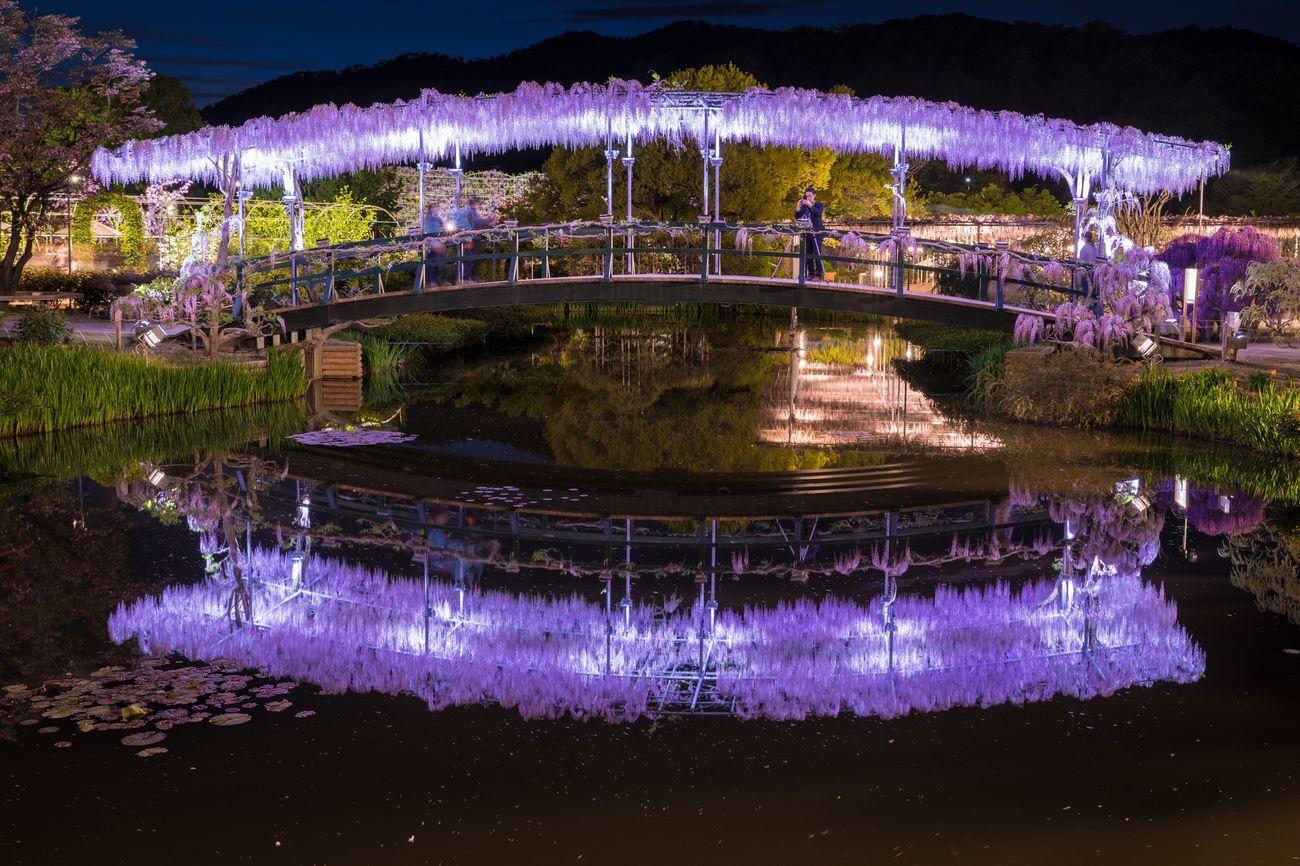 日本 藤 橋 反射 水面反射 花 あしかがフラワーパーク Japan Wisteria Bridge Reflection Reflections Water Reflections Flower Flowers