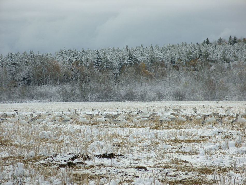 Bare Tree Beauty In Nature Cold Cold Temperature Day Frost Frozen Frozen Lake Ice Lake Long Goodbye Nature No People Outdoors Saguenay, Québec, Canada Scenics Sky Snow Tranquil Scene Tranquility Tree Weather White Gooses Winter EyeEmNewHere