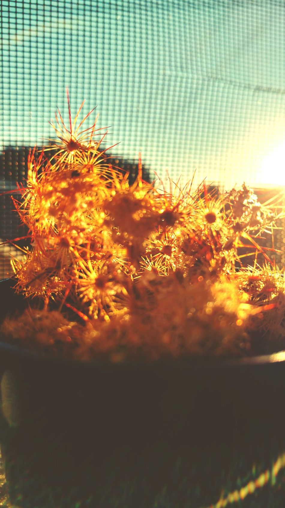 Soaking up some rays. Succulent Cactus Strawflower