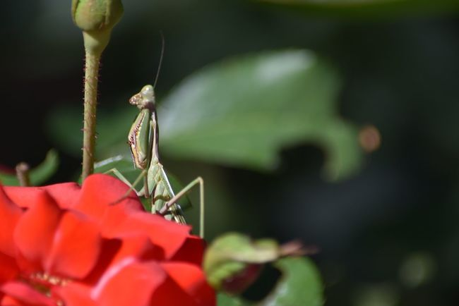Mantis Insect Respect For The Good Taste Let's Do It Chic! EyeEm Best Shots Eye4photography  Exceptional Photographs Growth Flower Nature Fragility Plant Close-up Beauty In Nature No People Petal Blooming Flower Head Day Freshness Outdoors New Life Maximum Closeness Focus Object