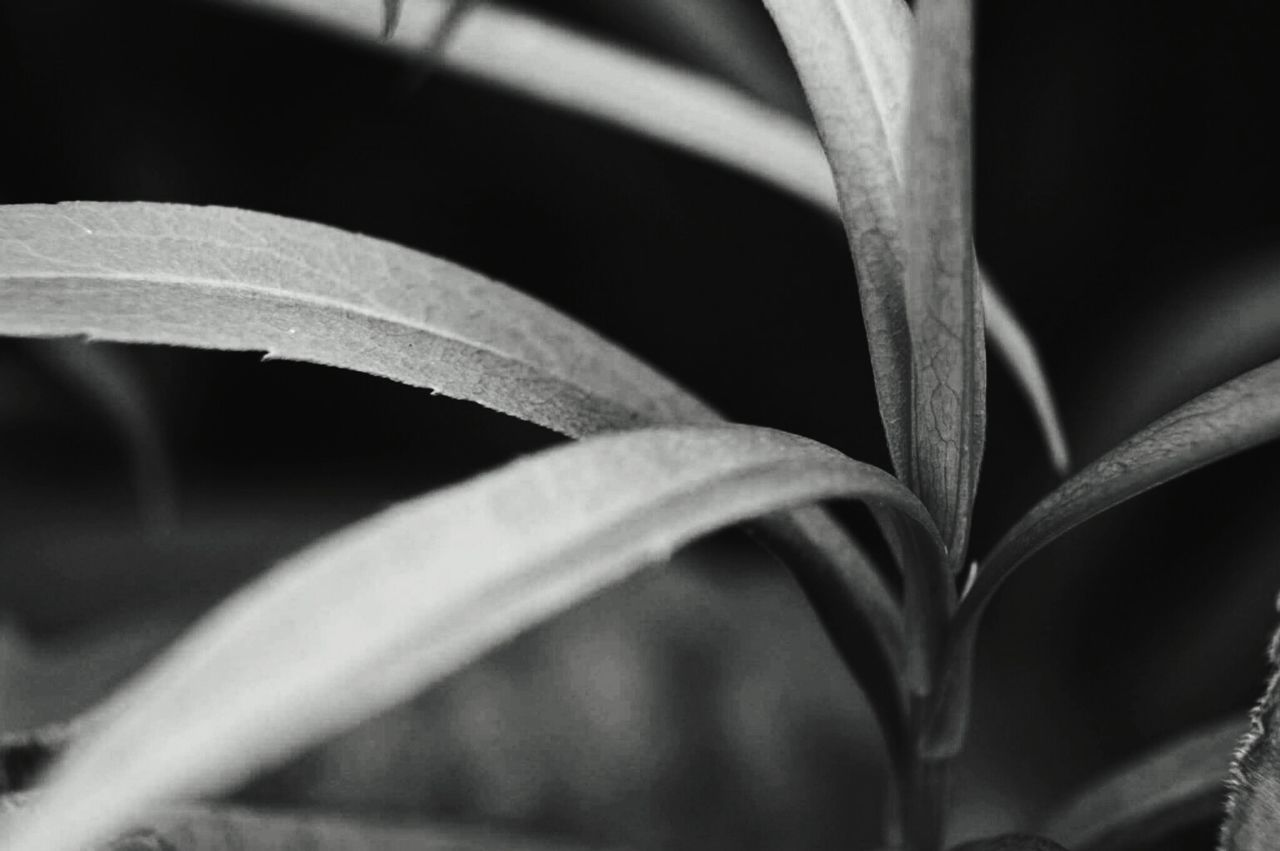 Get closer... Black Color Abstract Photograph Leaf Close-up Springtime Naturelover Nature_perfection Fragility Beauty In Nature Blackandwhite Botany Photography EyeEm Bnw Grass Naturephotography