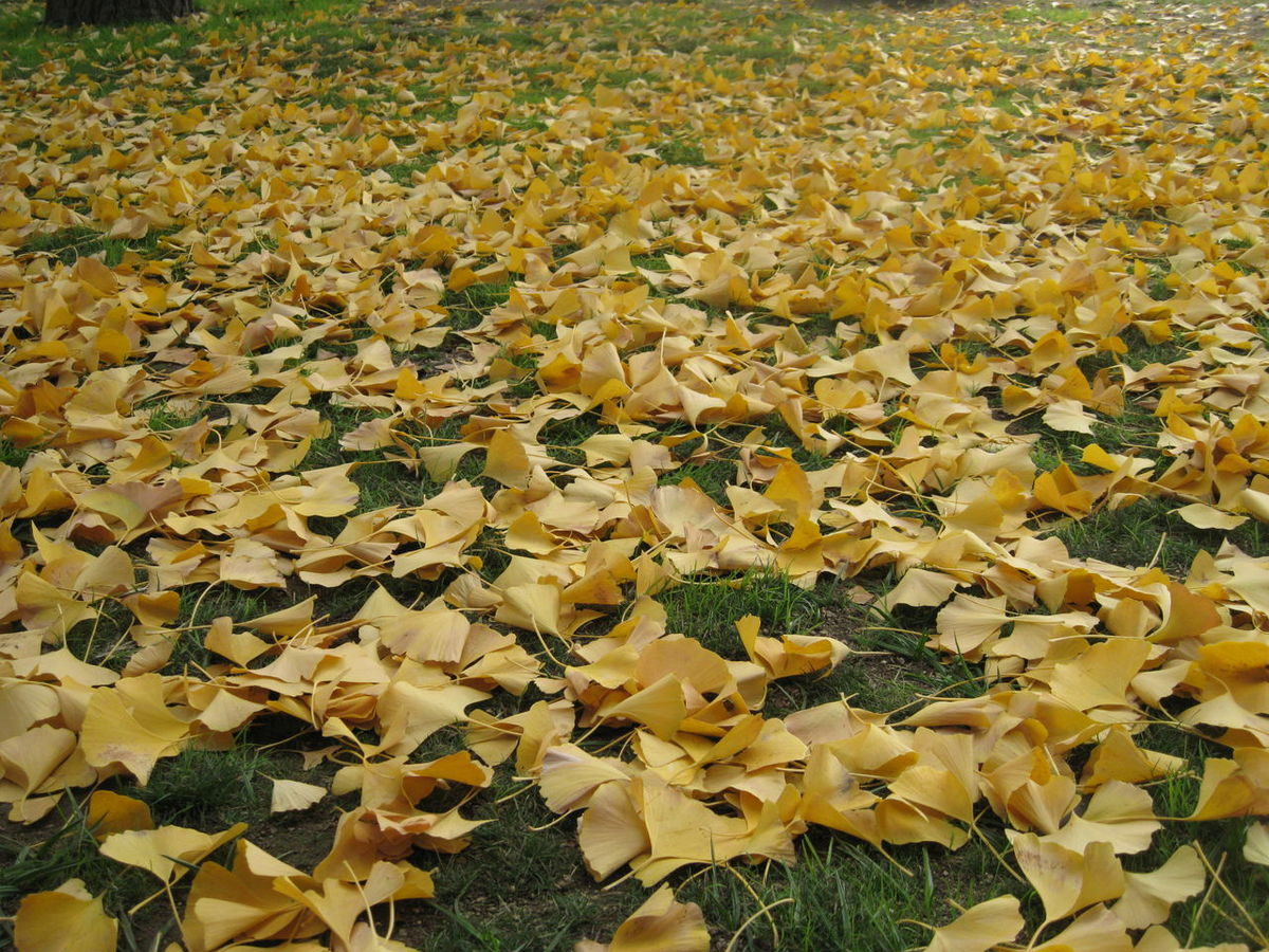 Ginkgo leaves Ginkgo Backgrounds Beauty In Nature Day Fall Leaves Field Fragility Ginkgo Leaf Leaf Nature No People Plant Yellow