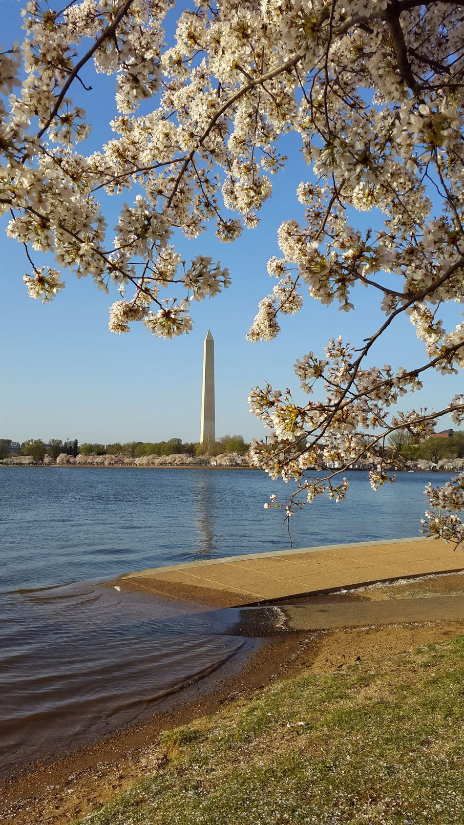 Cherry blossoms in DC Tree Outdoors Travel Destinations No People Enjoying The View Beauty In Nature Beautiful Nature Oneofthosedays Landscape Composition Streetphoto Cherryblossom National Monument Park WashingtonDC