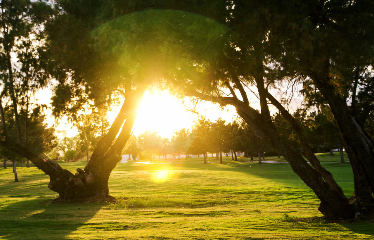 tree, grass, sunset, sunlight, nature, beauty in nature, sunbeam, golf course, green color, golf, no people, outdoors, green - golf course, day