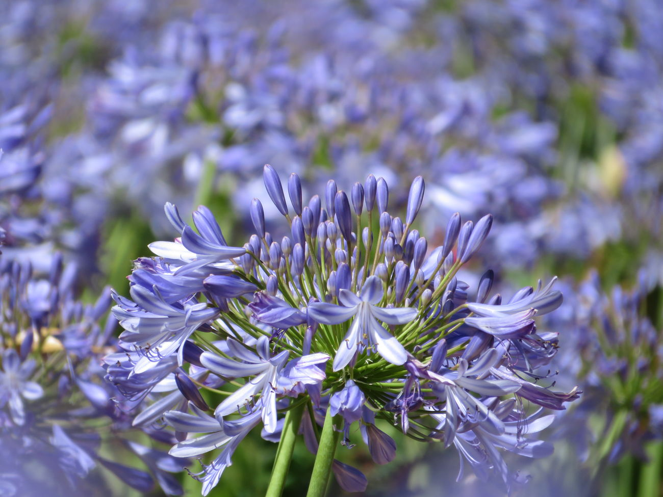 Sea of agapanthath in my garden ... Agapanthus Flower Nature No Edit/no Filter Beauty In Nature Purple Growth Flower Head Plant No People Macro Freshness Garden Gardening
