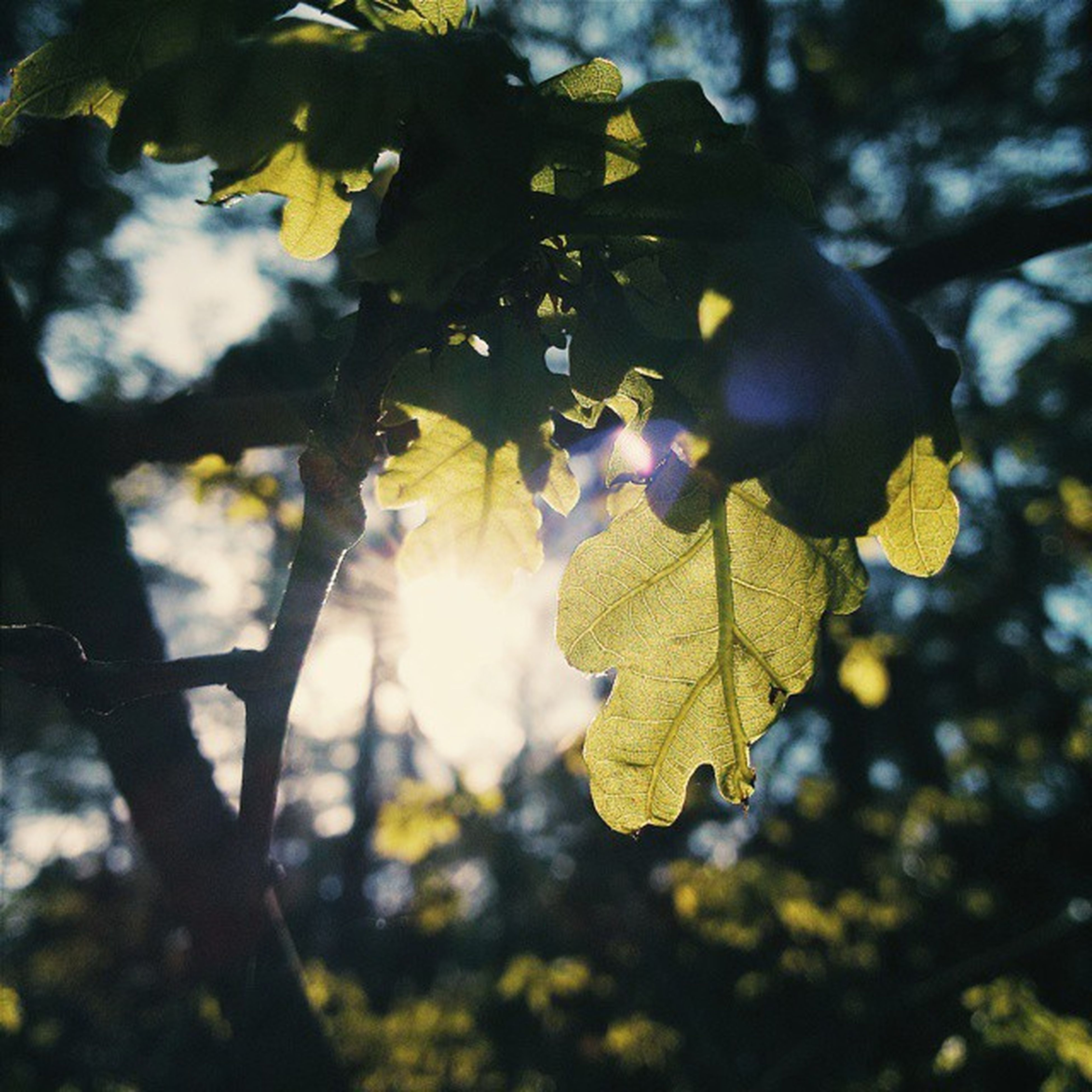 tree, branch, leaf, low angle view, growth, focus on foreground, nature, sunlight, close-up, tranquility, autumn, sun, day, outdoors, beauty in nature, lens flare, sunbeam, leaves, sky, no people