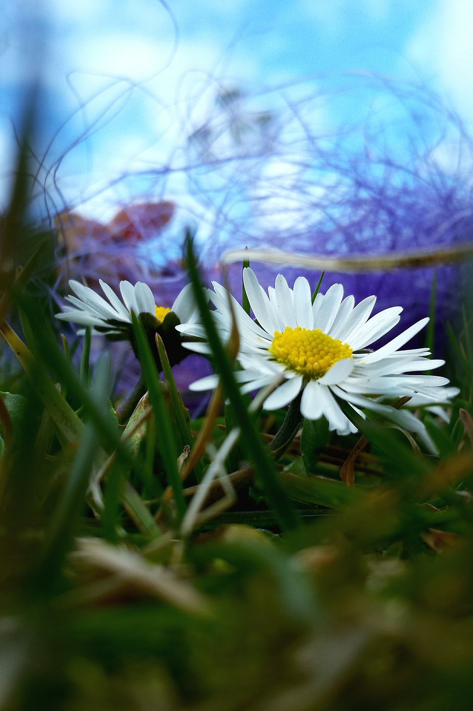 Grass And Sky Ladyphotographerofthemonth Blütenzauber Still Life Things I Like Urban Spring Fever Spring Time Blüten Zum Essen 🌾 Daisies Are My Favorite Daisy Daisies Learn & Shoot: Composition Learn & Shoot: Layering Beautyful Colours Beautiful Colour Combination Blue Sky Spring Flowers Close-up Close Up Landscapes With WhiteWall Easter Ready Blütenträume Here Belongs To Me Flower Collection Grass