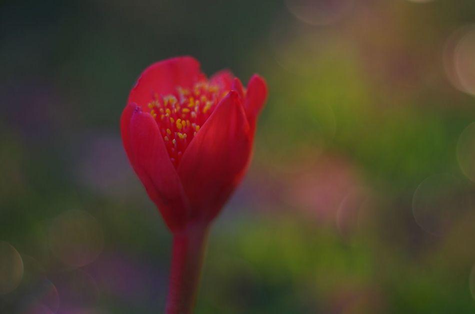Scadoxus in Bloom Garden Bulbs Flowers Bokeh Photography Bokeh Volna3