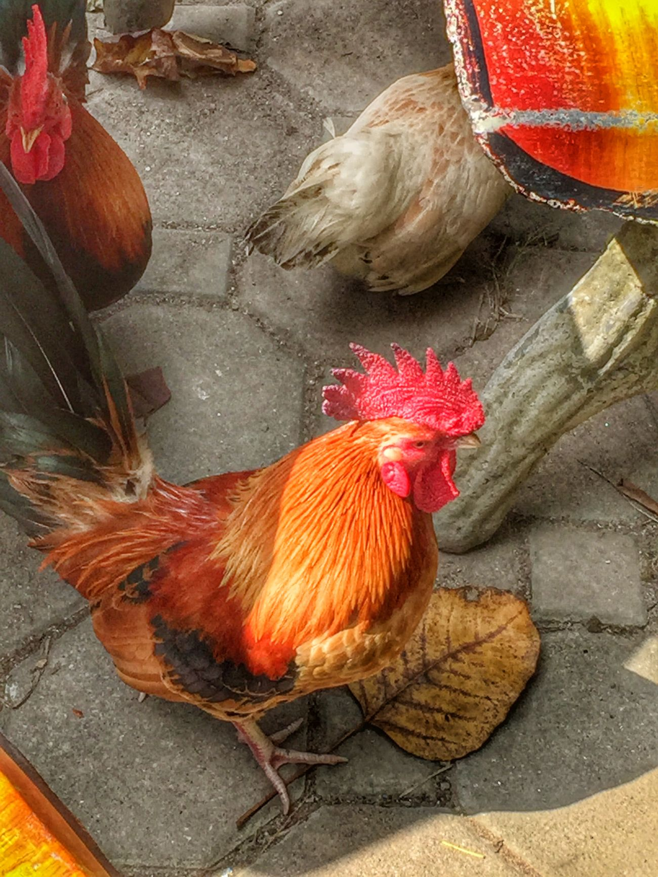 Birds Check This Out Taking Photos Eye4photography  IPhoneography Chooks Feather_perfection Kampunglife