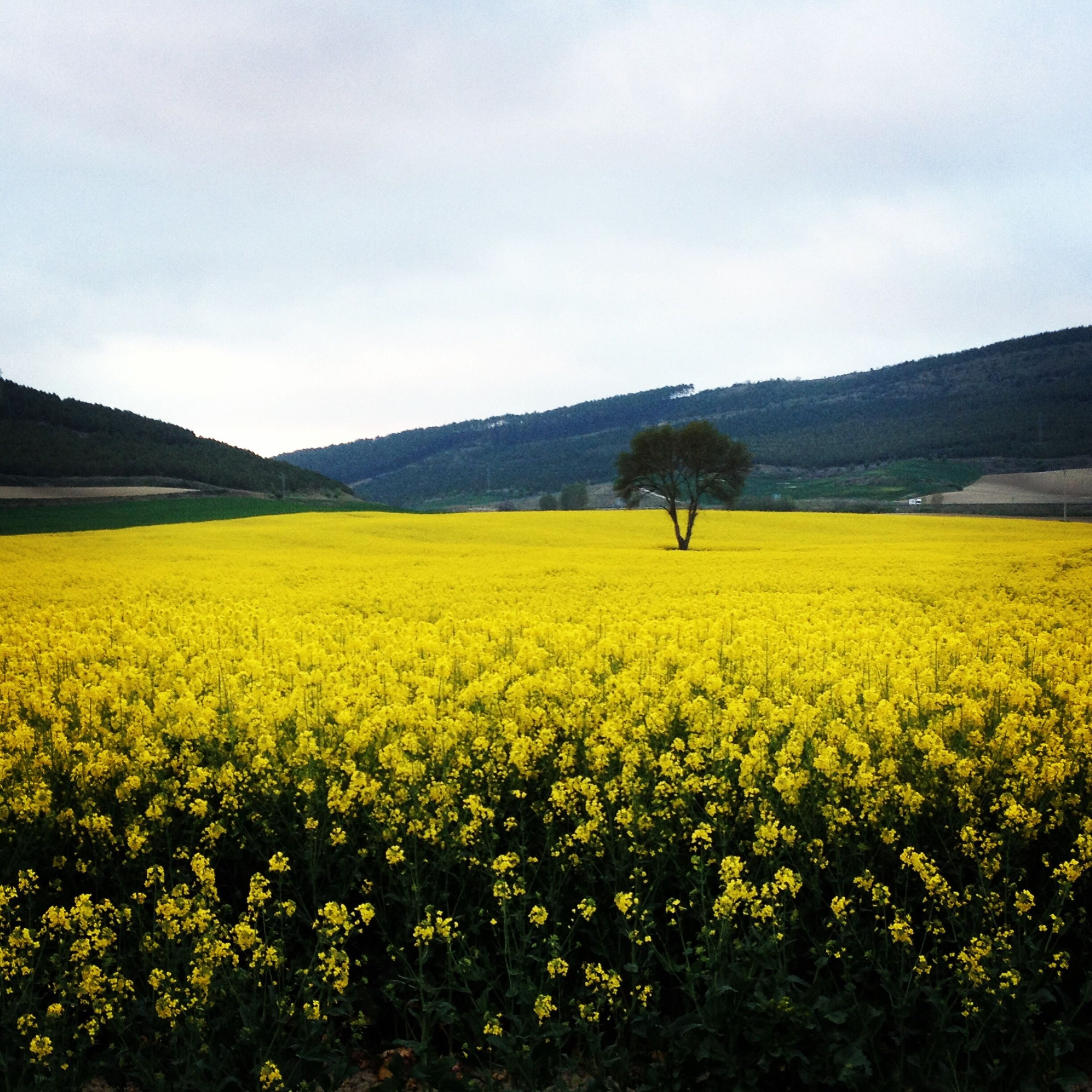 yellow, flower, beauty in nature, field, rural scene, agriculture, landscape, tranquil scene, growth, nature, freshness, oilseed rape, scenics, tranquility, sky, farm, mountain, abundance, fragility, plant