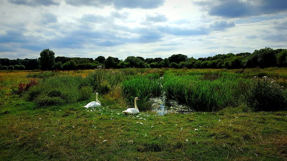 Swans ❤ Swans Swans On The Lake Grass Field Sky Green Color Tranquility Rural Scene Landscape Tranquil Scene Growth Nature Plant Beauty In Nature Scenics Cloud - Sky Cloud Day Non-urban Scene Agriculture Outdoors Farm