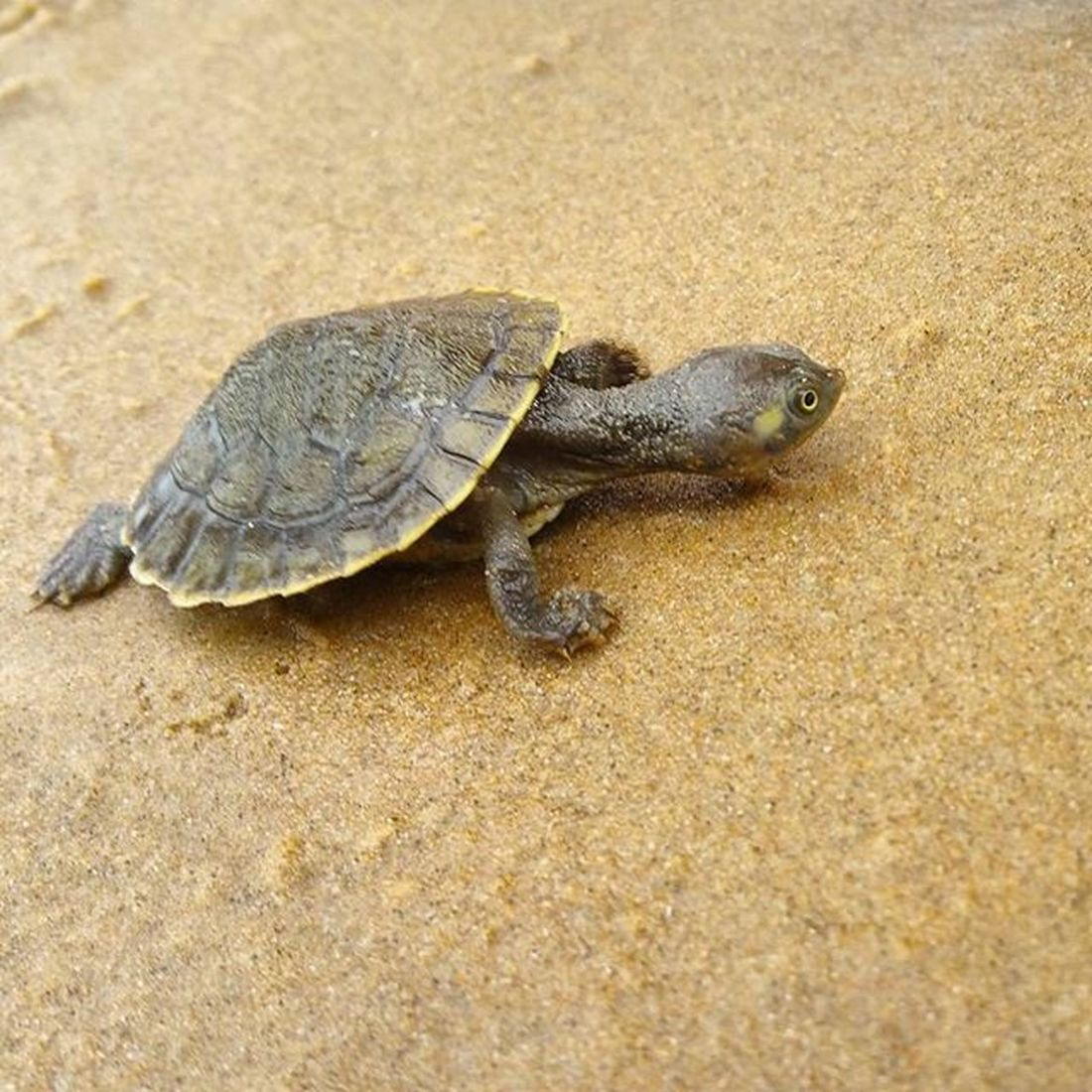Baby Turtle Found Alive  Washedup on Urangan Beach Herveybay QLD after last nights Storm Wildlife Sea Rescue Animal Cute Adorable