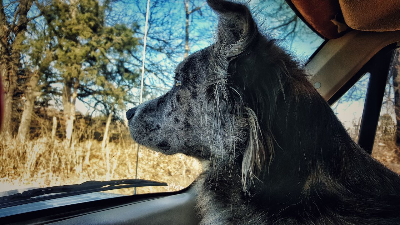 Close-Up Of Dog Looking Through Car Windshield