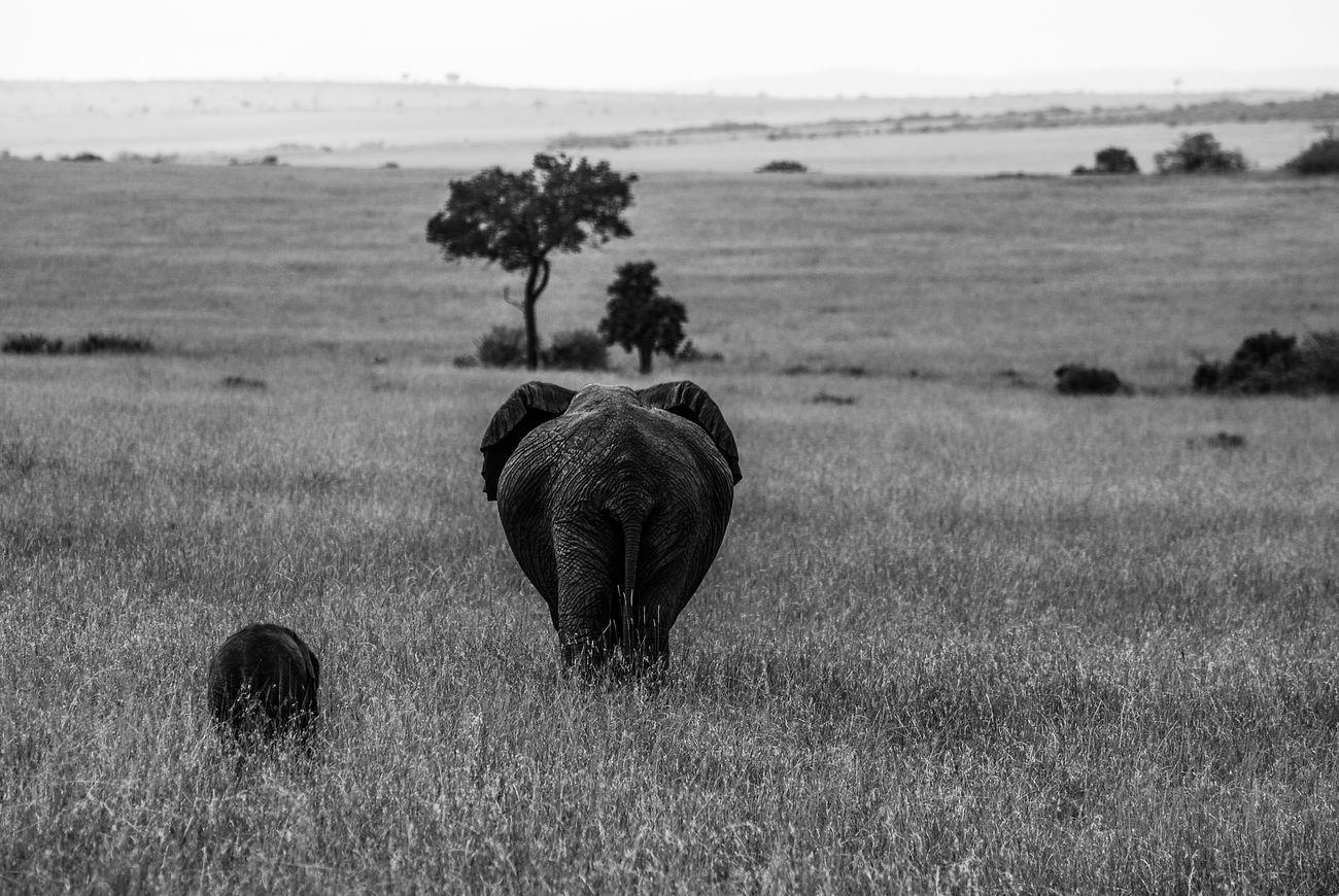 Mother & calf, Maasai Mara. Nature Landscape Monochrome Black & White Blackandwhite Animals In The Wild Outdoors Nature Nikonphotographer Nikon Travel Travel Photography Africa Kenya Maasai Mara Wildlifephotography Wildlife & Nature Wildlife Animal Wildlife