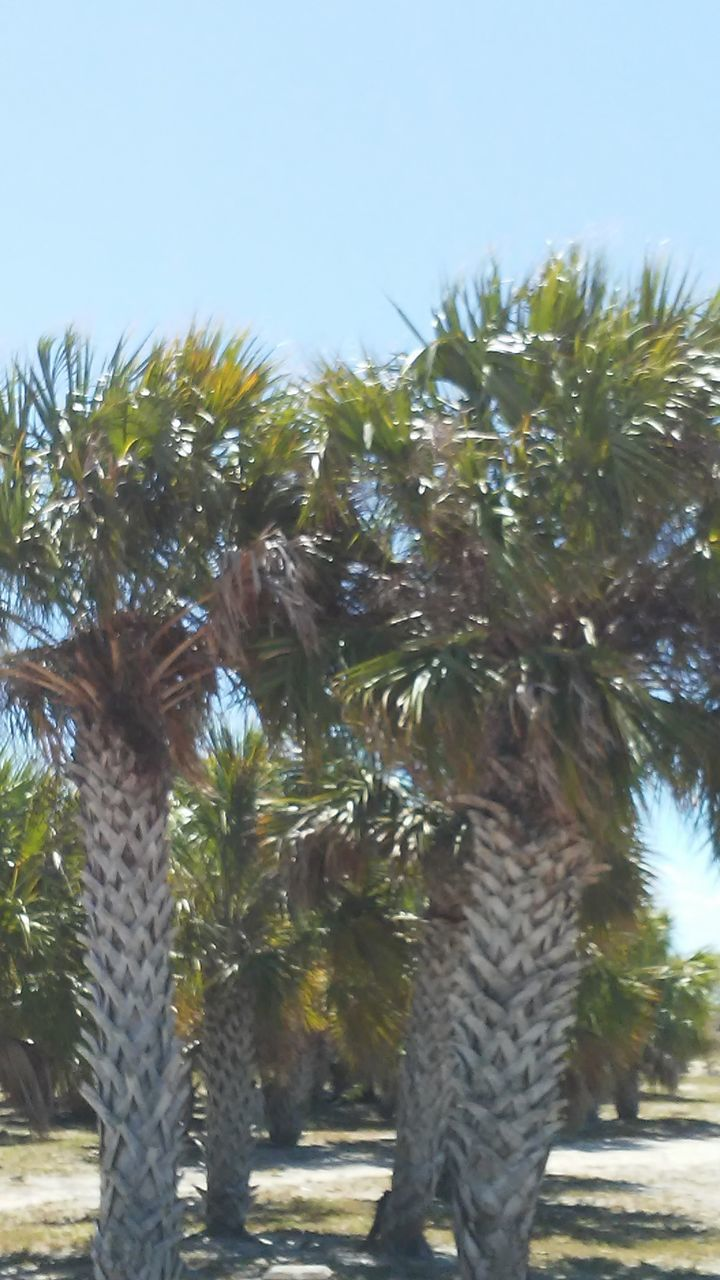 tree, growth, palm tree, day, nature, no people, low angle view, outdoors, clear sky, beauty in nature, sky