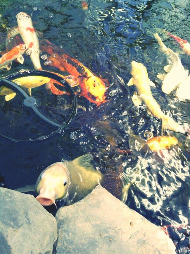 Koi fish Koi Fish Virginia Taking Photos