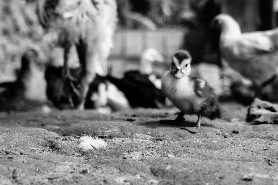 Animal Themes Animals In The Wild Bird Close-up Day Domestic Animals Nature No People Outdoors Selective Focus Young Bird