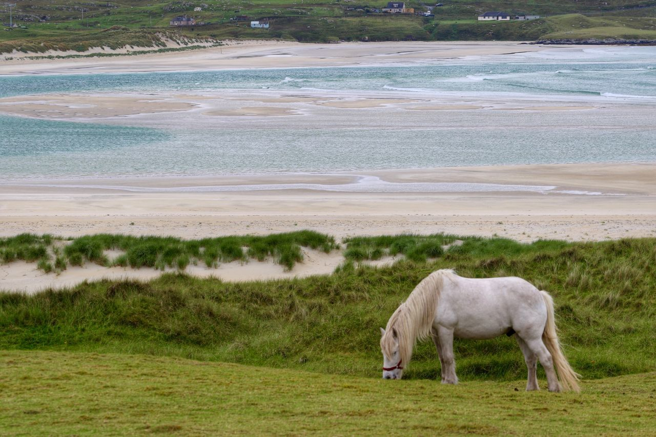 The Great Outdoors - 2017 EyeEm Awards Horse Grass Grazing Domestic Animals One Animal Beach Day Nature Outdoors No People Livestock Animal Themes Field Mammal Landscape Sea Water Beauty In Nature Full Length Luskentyre Beach Scotland Scotland Wild Landscape Horses Place Of Heart Sommergefühle