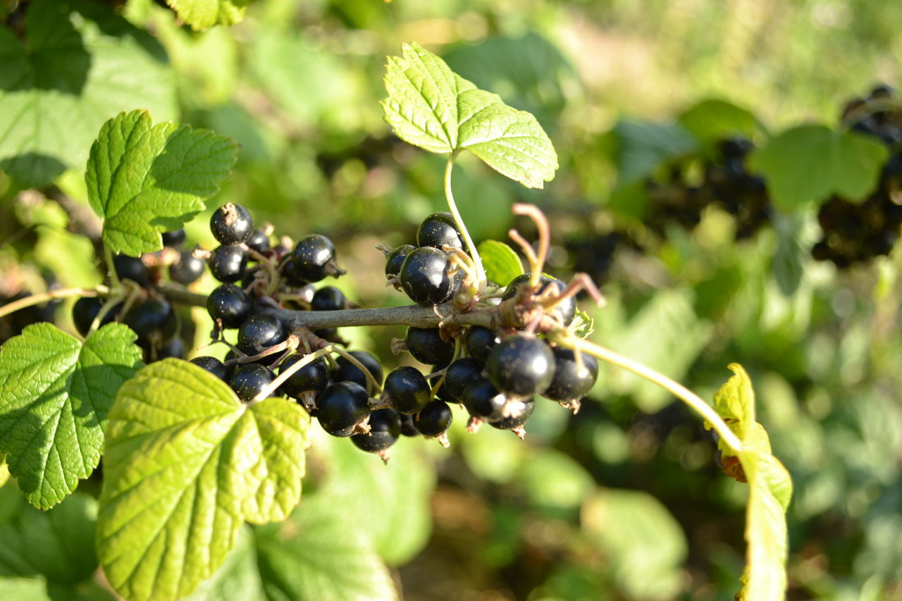 Agriculture Beauty In Nature Close-up Currant Currants Freshness Fruit Green Color Growth Healthy Eating Leaf Plant Yahotyn