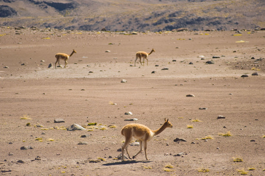 Animal Animal Themes Animal Wildlife Animals In The Wild Arid Climate Beauty In Nature Day Full Length Landscape Large Group Of Animals Mammal Nature No People Outdoors Plain