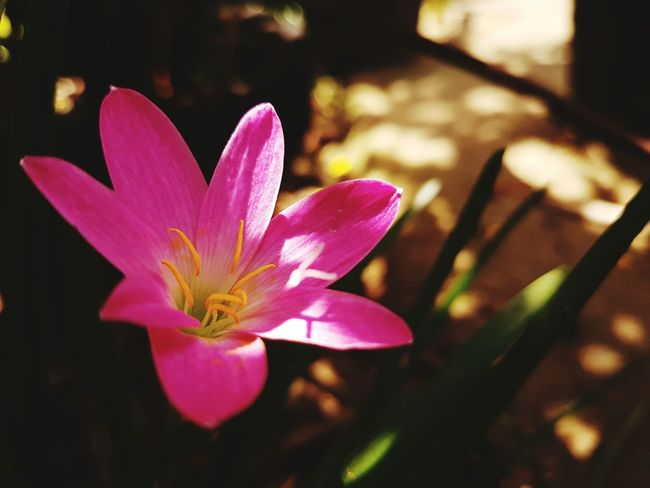 Mama's garden Beauty In Nature Nature Flower Fragility Petal Plant Flower Head Pink Color Growth Outdoors Close-up No People Freshness Rhododendron Day Water Crocus Beauty In Nature Flowers EyeemPhilippines Plant Nature