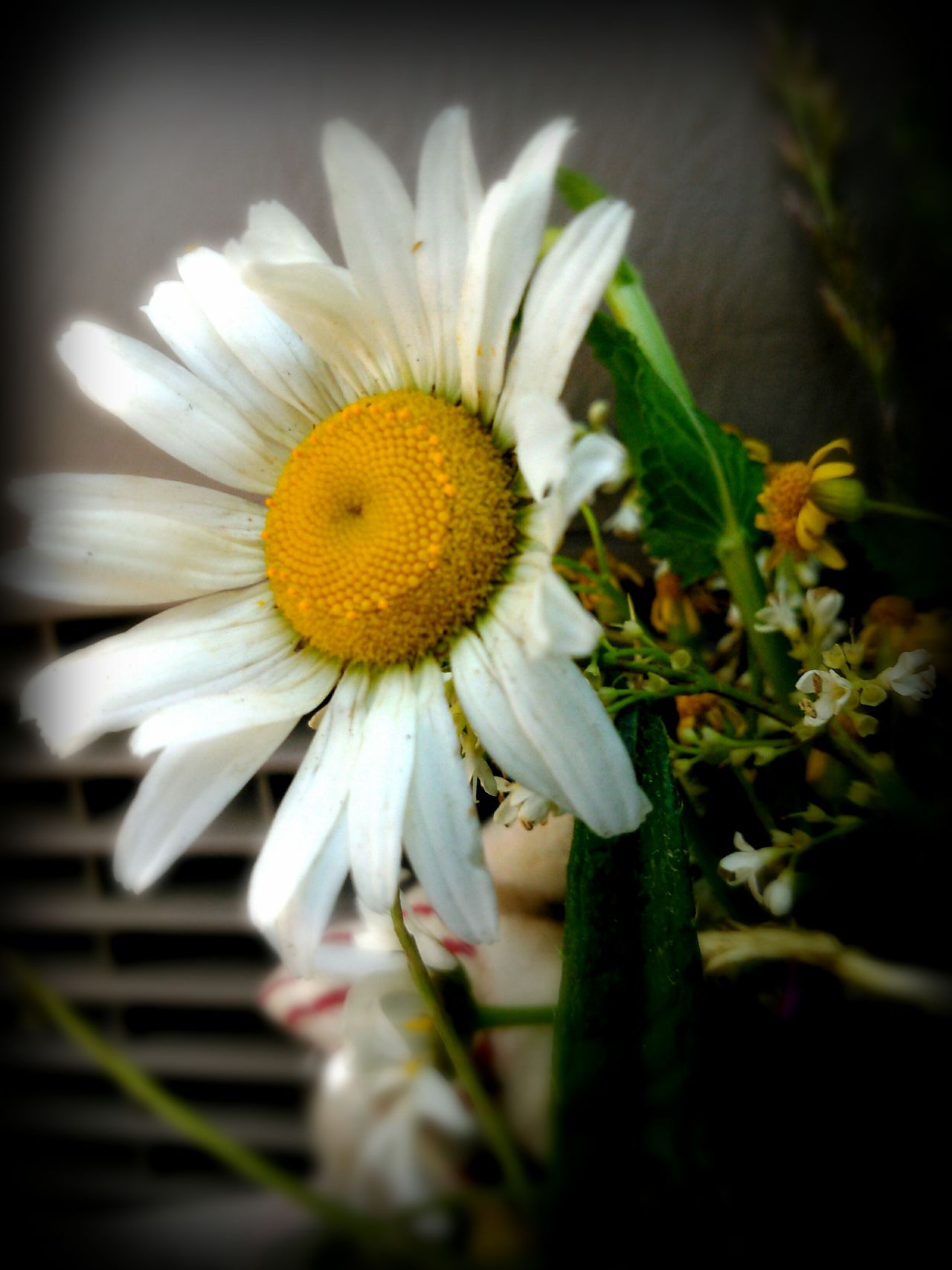 Daisy Daisy Flower Daisy Flower Head Daisy Close Up Flower Fragility Petal Flower Head Freshness Nature Beauty In Nature Close-up No People Pollen Plant Growth Day Yellow Beauty Natural Light Freelance Life EyeEm Gallery EyeEm Best Shots EyeEm Nature Lover Green Color