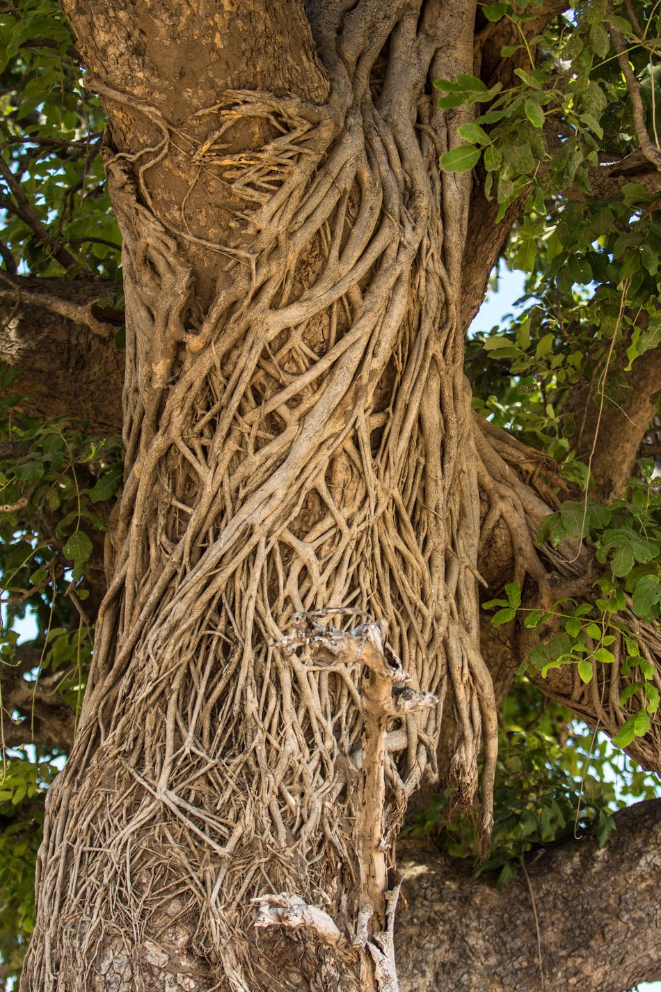 Tree Tree Trunk Nature Growth Outdoors Beauty In Nature Root No People Day Close-up Strangler Fig