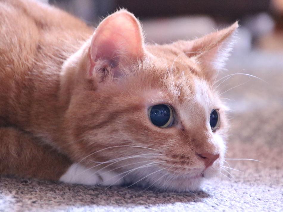 Cat♡ 猫 Cat 茶トラ猫 Animal Eyeem Best Shots - Animals Playing With The Animals ウチの姫様 Pets Corner Photography