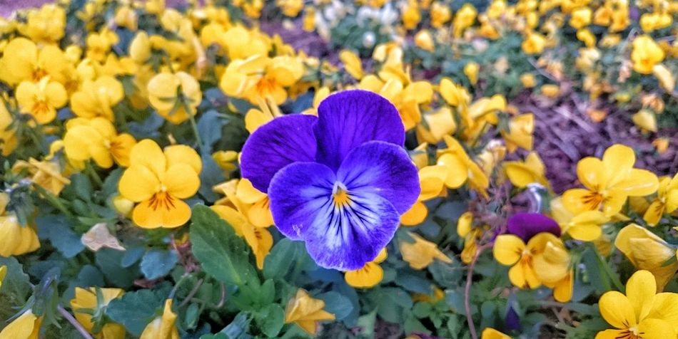 Purple flower in a sea of yellow Flower Fragility Beauty In Nature Purple Flower Head Petal Close-up Outdoors Blooming