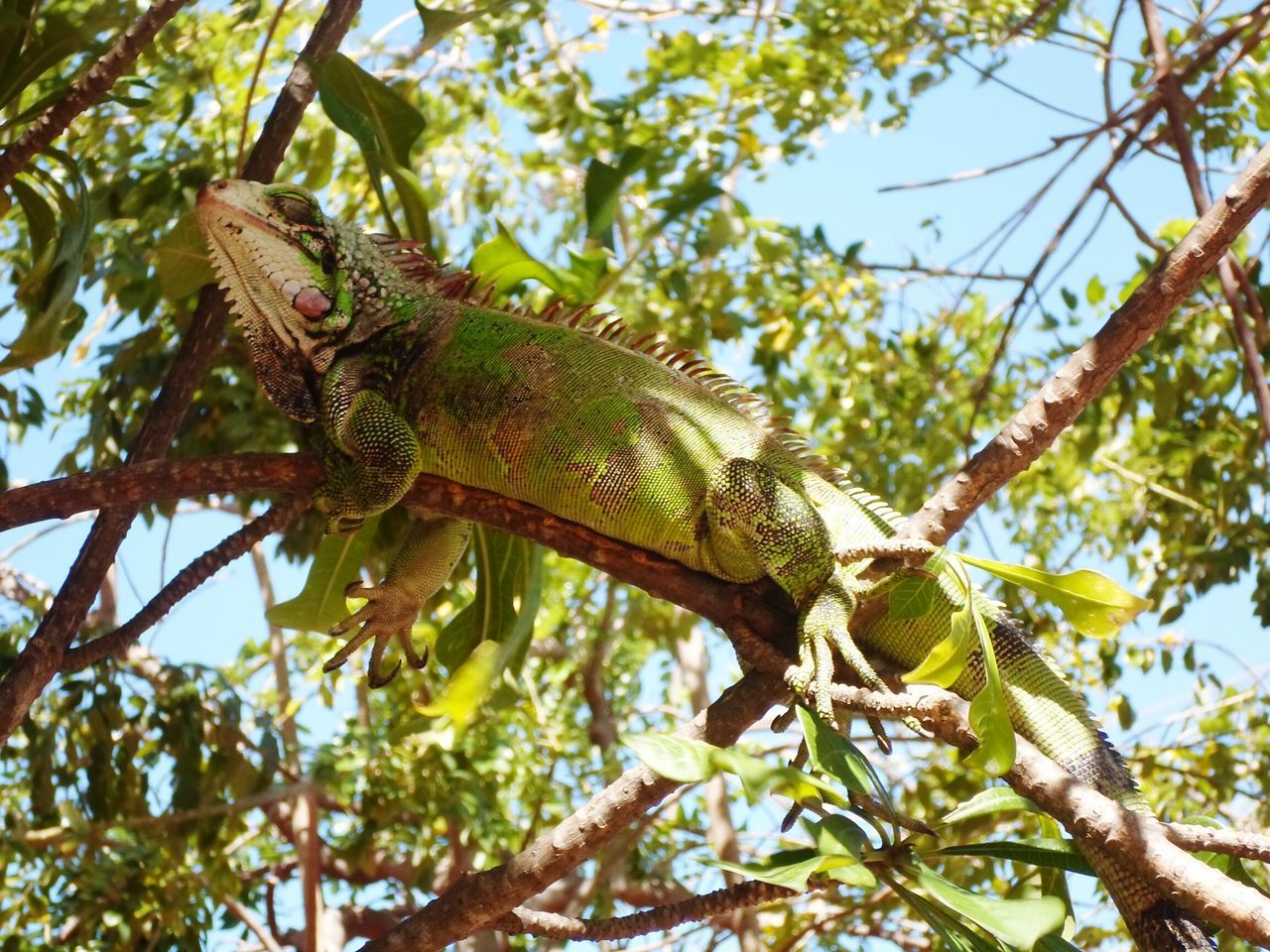 Low Angle View Tree One Animal Branch Reptile Lizard Green ColorPhotography Animal Wildlife Animals In The Wild Chameleon Animal Themes Nature No People Outdoors Day Sky Nature Beauty In Nature Eyemmarket Close-up Green Color Scenics