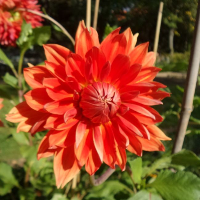 A red dahlia in the garden. Dahlia Unfiltered Nofilter Flower Freshness Petal Fragility Flower Head Close-up Growth Beauty In Nature Nature Single Flower Red Springtime Season  Plant Vibrant Color Focus On Foreground In Bloom Blossom Day Botany