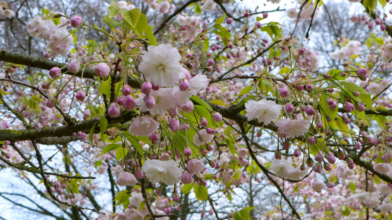 growth, flower, nature, beauty in nature, tree, freshness, petal, branch, blossom, springtime, fragility, no people, pink color, flower head, close-up, twig, blooming, outdoors, day, low angle view, plum blossom