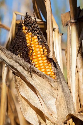 Abendsonne Agriculture Ausgetrocknet Beauty In Nature Close-up Corn Corn On The Cob Corncobs Drought Dürre Essen Evening Sun Field Landwirtschaft Mais Maisfeld Maiskolben Nahrungsmittel Outdoors Overripe Sommer Summer