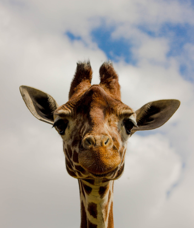 Beautiful stock photos of giraffe, Animal Markings, Animal Themes, Animals In The Wild, Cloud - Sky