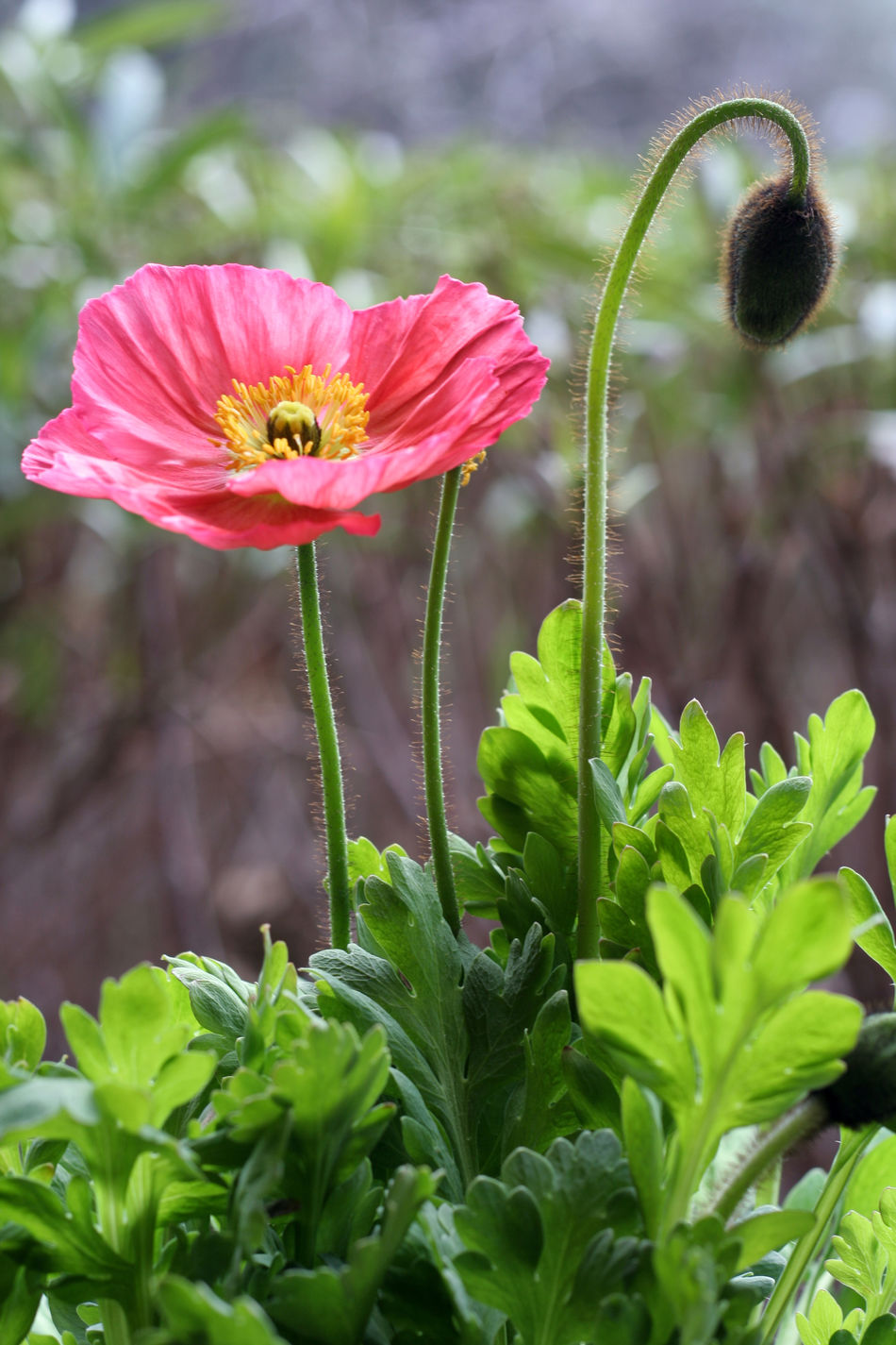 Beauty In Nature Blooming Close-up Day Flower Flower Head Focus On Foreground Fragility Freshness Green Color Growth Hibiscus Leaf Nature No People Outdoors Petal Pink Color Plant Poppi Poppies  Red Color Red Flower