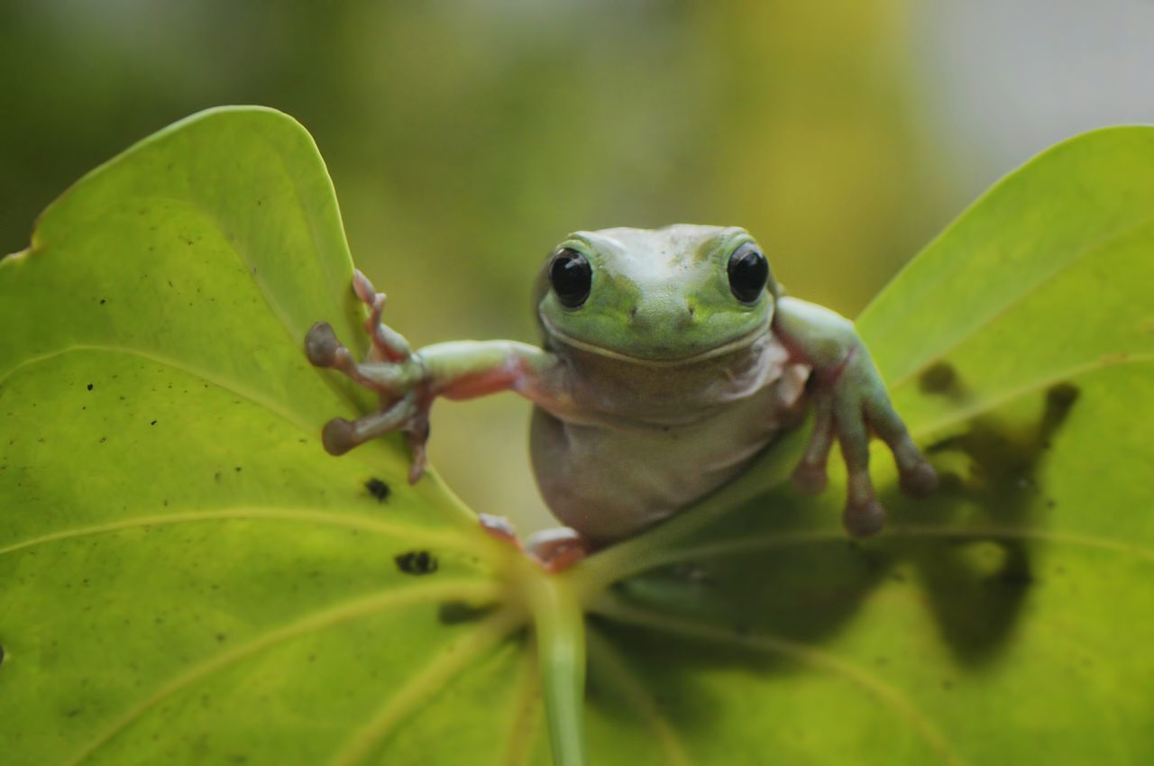 Frog on The Leaf Green Frog Green Color Dumpyfrog Frog One Animal Greenfrog Beauty In Nature Conceptual Outdoor Close-up INDONESIA Nikon Photography Bokeh Daylight Contrasts Animal Leafs. Animal Wildlife Outdoors Animal Themes No People Front View Looking Face