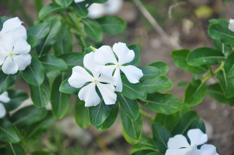 Beauty In Nature Blooming Flower Freshness Nature Photography Nature Photography EyeEm Best Shots Periwinkle Petal Philippines Plant White White Color White Flower