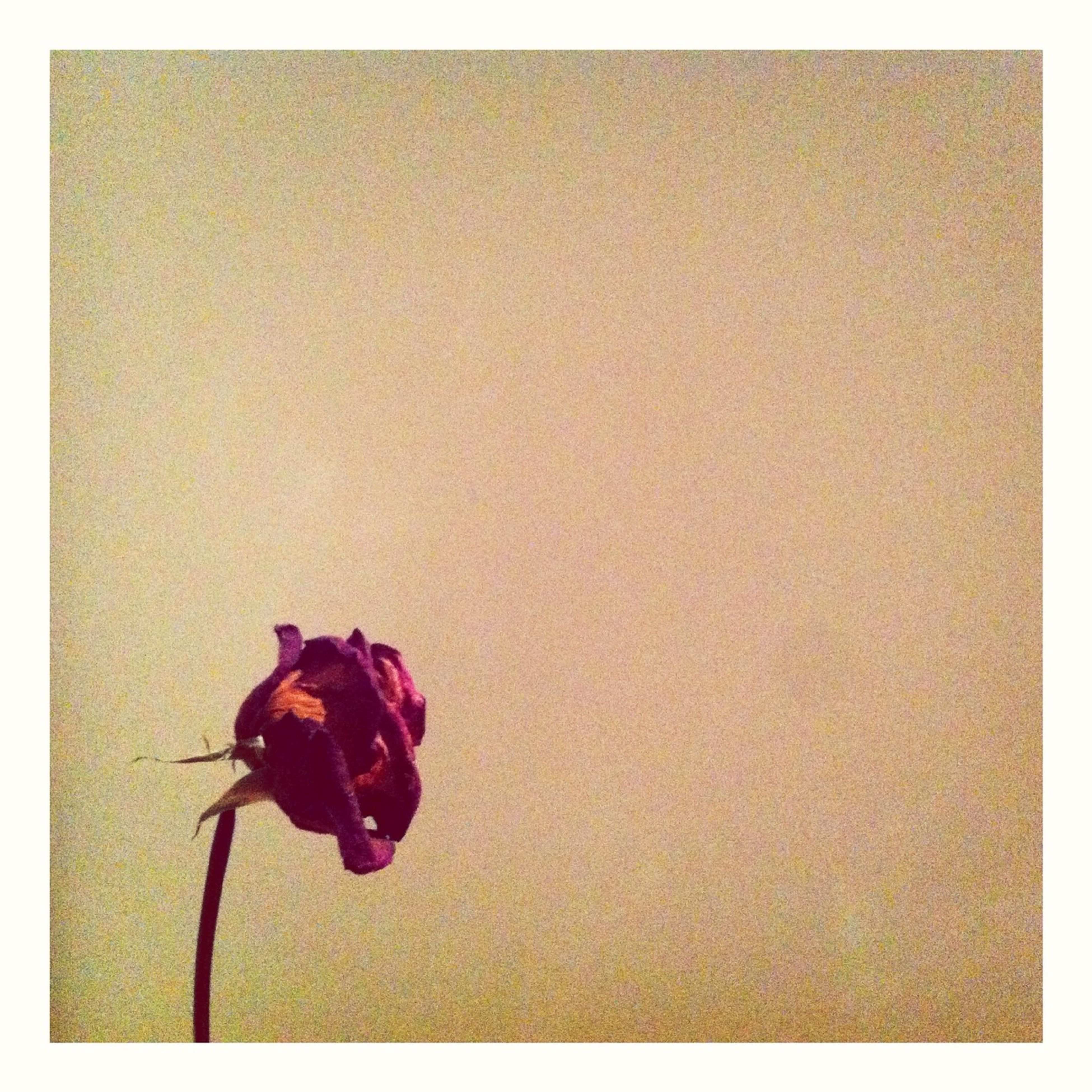 transfer print, auto post production filter, copy space, wall - building feature, vignette, flower, studio shot, indoors, red, close-up, no people, pink color, rose - flower, wall, stem, nature, day, petal, single object, home interior