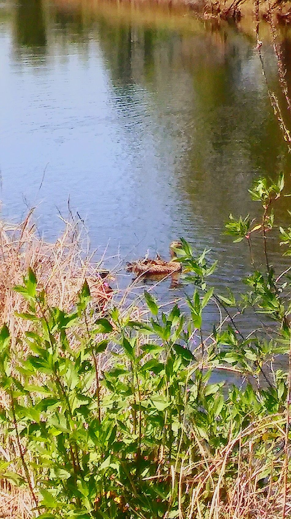 MamaMallard&BabyDuckling💕 Water Canals And Waterways Outdoors Reflection Grass Nature Day No People Growth Beauty In Nature Landscape Reflections Reflected In The Glassy Stillness Of The Water EyeEmBestShot's Tranquil Scene Eyeemnaturelover Reflection_collection Animals In The Wild Animal Themes Tranquility Beauty In Nature MallardDuck's💗💗 Fulllength Backgrounds