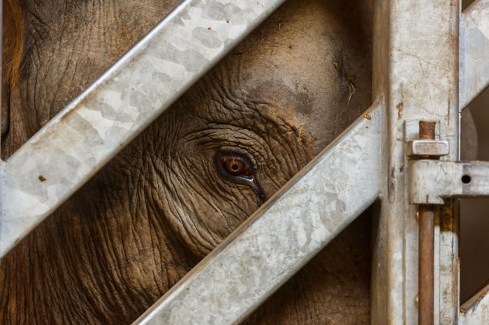 Close up of a young elephant looking out of a gate while being herded into an enclosure for a medical procedure. Animal Animal Head  Animal Themes Brown Cage Caged Close-up Day Elephant Focus On Foreground Full Frame Gate Mammal Metal Gate Natural Light Nature No People Portrait Trapped Young Elephant Zoo High Resolution