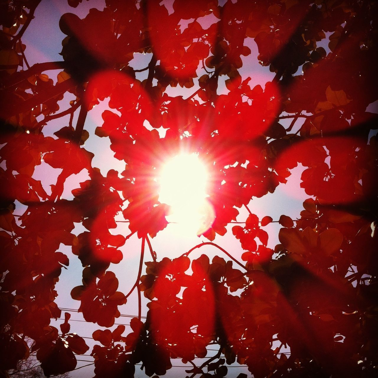 red, sun, sunlight, maple leaf, no people, nature, close-up, beauty in nature, growth, day, low angle view, freshness, outdoors, flower, fragility