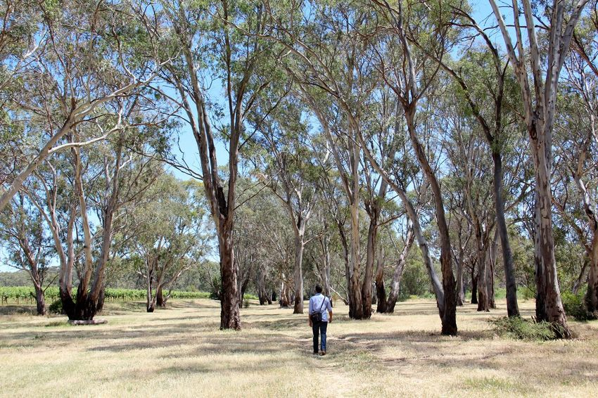 New adventures Adult Adventure Australia Australian Landscape Barossa Valley Day Follow The Guide Full Length Gum Trees Holiday Landscape Leisure Activity Nature New Adventures One Man Only One Person Outdoors Real People Rear View South Australia Sunny Tall Trees Tree Walking Winery