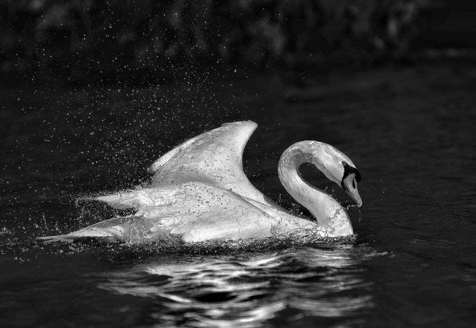 Bird Animals In The Wild Swimming Animal Themes One Animal Lake Water Animal Wildlife No People Swan Close-up Outdoors Nature Night Sea Life Black & White Photography Black And White Collection! Texas Photographer Black&white Blackandwhite Animals In The Wild Beauty In Nature