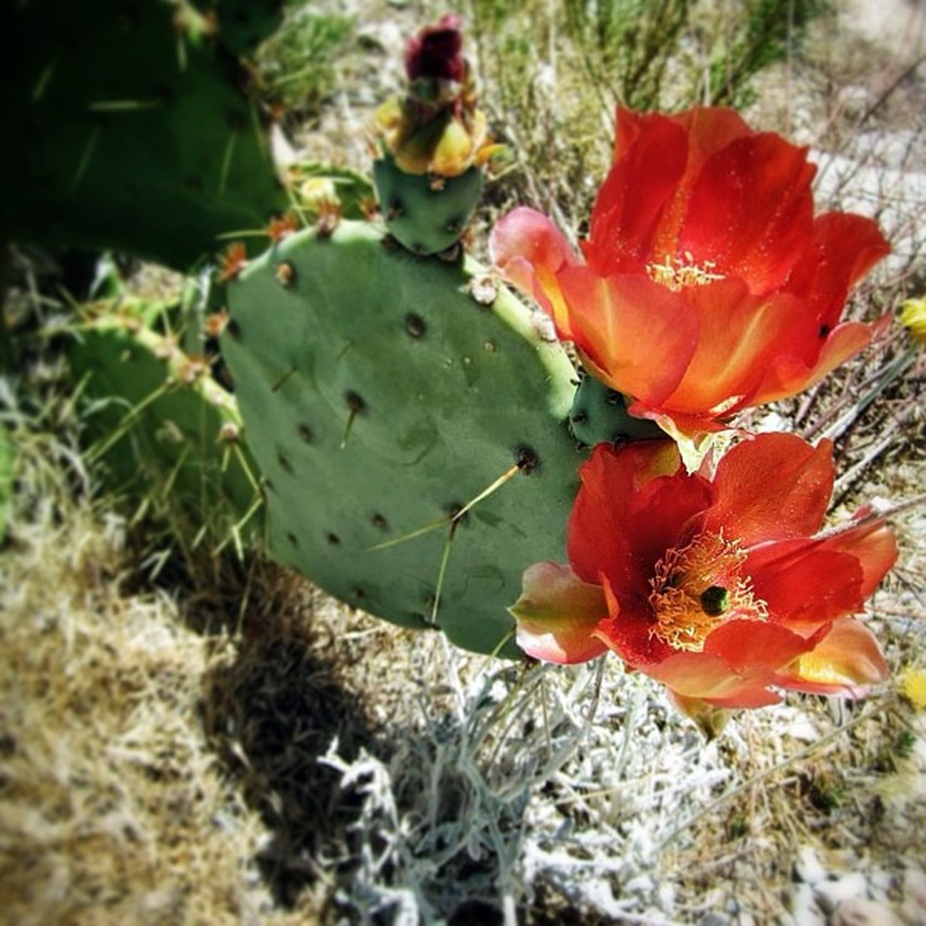 Red Rock Canyon, Nevada Redrockcanyon Nature Cactus Flower Travel USA Outdoors Rock Nevada Redrock Nationalpark Honktravel