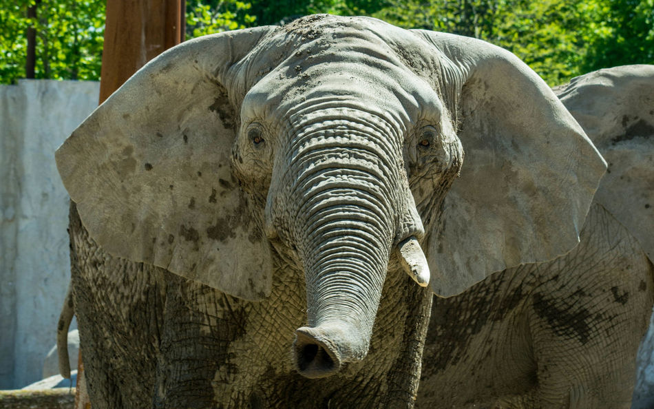 Elephant Outdoors Zoo Sunny Day Animal Themes EyeEmNewHere EyeEm Nature Lover Close-up Grey