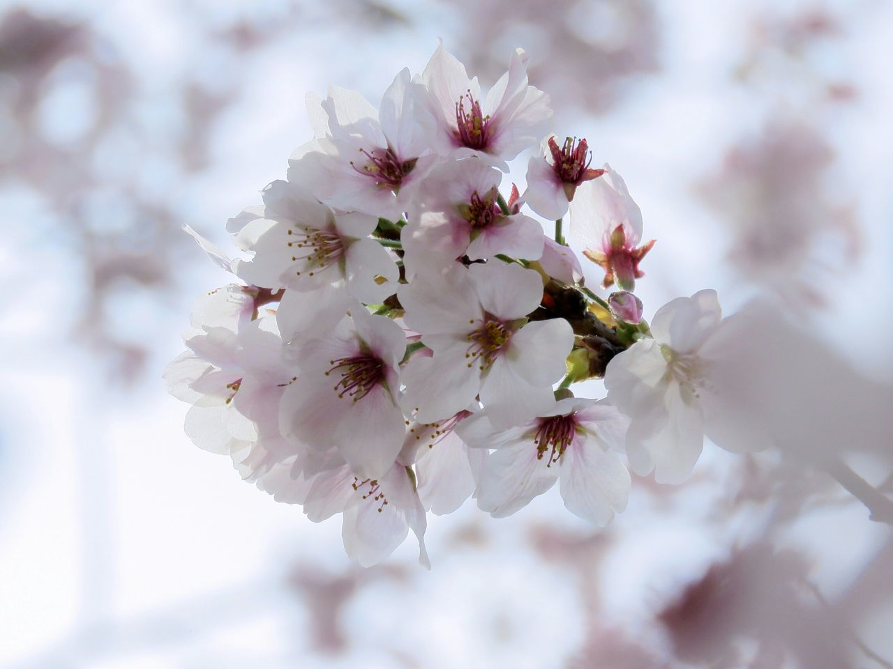 flower, freshness, fragility, cherry blossom, growth, branch, beauty in nature, tree, petal, cherry tree, blossom, nature, close-up, focus on foreground, white color, in bloom, fruit tree, twig, flower head, blooming